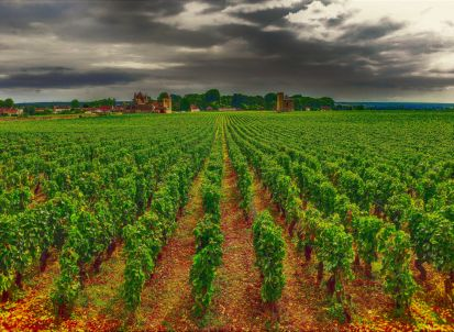 vineyard-vougeot-burgundy